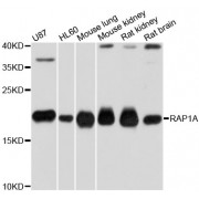 Western blot analysis of extracts of various cell lines, using RAP1A antibody (abx000928) at 1/1000 dilution.