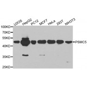 Western blot analysis of extracts of various cell lines, using PSMC5 antibody (abx001295) at 1/1000 dilution.
