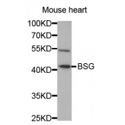 Western blot analysis of extracts of mouse heart, using BSG antibody (abx001317) at 1/1000 dilution.