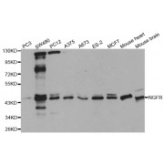 Western blot analysis of extracts of various cell lines, using NGFR antibody (abx001709) at 1/1000 dilution.