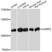 Western blot analysis of extracts of various cell lines, using UHRF2 antibody (abx001901) at 1/1000 dilution.