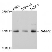 Western blot analysis of extracts of various cell lines, using RAMP2 antibody (abx002216) at 1/1000 dilution.