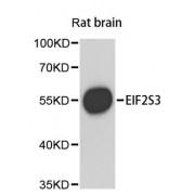 Western blot analysis of extracts of rat brain, using EIF2S3 antibody (abx002795) at 1/1000 dilution.