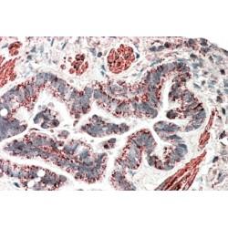 MOB Kinase Activator 2 (MOB2) Antibody