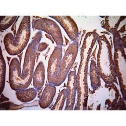 Lactate Dehydrogenase C (LDHC) Antibody