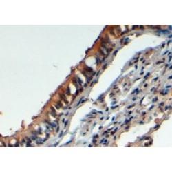 F-Box/LRR-Repeat Protein 12 (FBXL12) Antibody