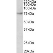 abx431961 (0.03 µg/ml) staining of Jurkat lysate (35 µg protein in RIPA buffer). Primary incubation was 1 hour. Detected by chemiluminescence.