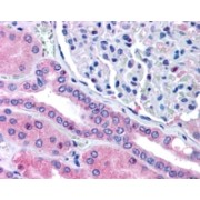 abx433230 (5 µg/ml staining of paraffin embedded Human Kidney. Steamed antigen retrieval with citrate buffer pH 6, AP-staining.