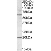 abx433301 (1 µg/ml) staining of HEK293 lysate (35 µg protein in RIPA buffer). Detected by chemiluminescence.